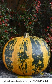 Stripy green and yellow pumpkin at Thanksgiving, with copy space on cotoneaster berries above