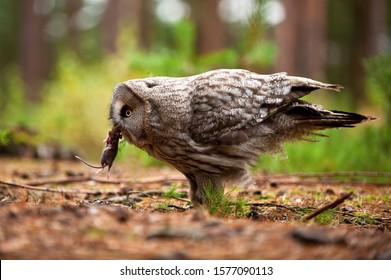 Strix nebulosa, Great grey owl The bird is eating the mouse in nice natural environment of Finland. Wildlife scene from Europe.