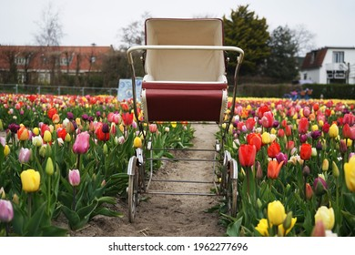 A stroller in the middle of a tulip garden in the Netherlands