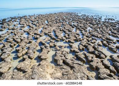 stromatolites at hamelin pool australia