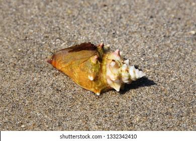 Strombus gigas. Queen conch