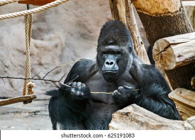 Strong Adult Black male Gorilla in the zoo eating