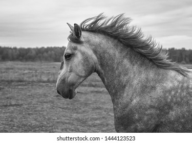 Strong andalusian horse running in the field. Portrait, close up, black and white.