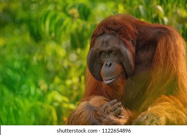 Strong and big male Orangutan (orang-utan) in his natural environment in the rainforest on Borneo (Kalimantan) island with trees and palms behind.