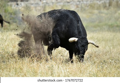 Strong black bull on spain in the field