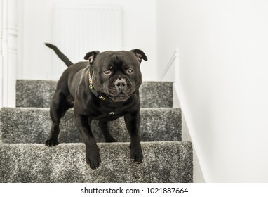 strong black staffordshire bull terrier dog running down stairs with carpets indoors.