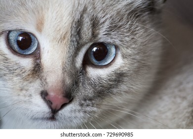 Strong blue eyes from a cat