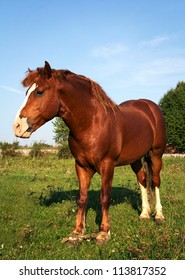 Strong brown horse summer field background