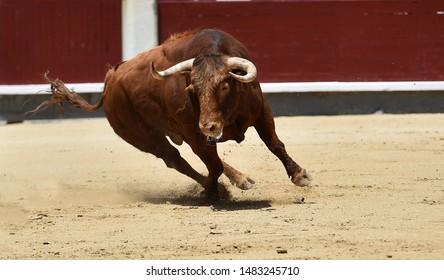 Strong bull running in the spanish bullring
