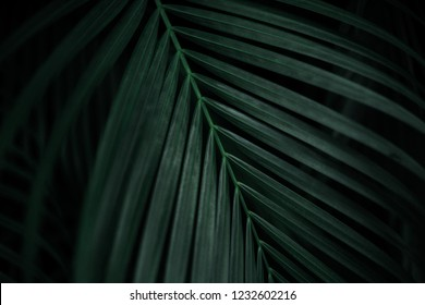 Strong deep green palm tree leaves with dark background and deep shading. Deep color palm tree leaf. Tropical background.