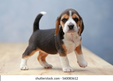 strong female beagle puppy in action