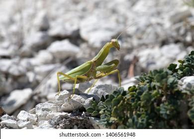 Strong female Praying mantis (Mantis religiosa) makes its way through the rocky terrain with grass, cruel female