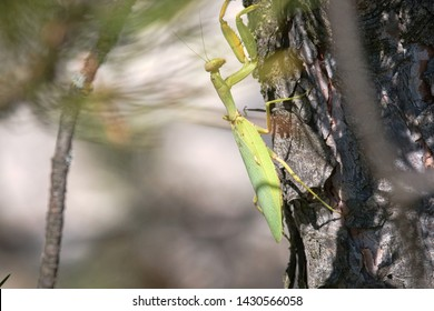 Strong female Praying mantis (Mantis religiosa) on trunk in bark of pine