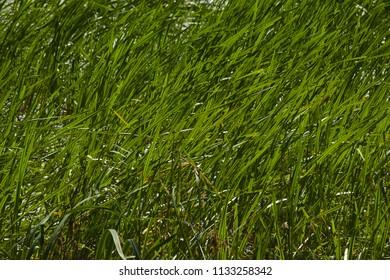 Strong green grass and reed at a small lake