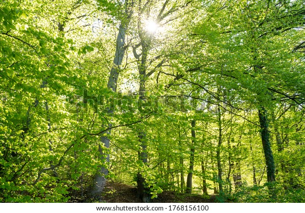 Strong green tree tops from beech trees in the Harz mixed forest