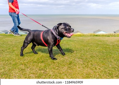 Strong healthy happy black Staffordshire Bull Terrier wearing a red harness on a long retractable leash on green grass in front of beach huts going for a walk at the seaside in Whitstable
