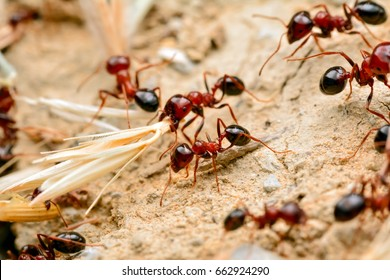 Strong jaws of red ant close-up