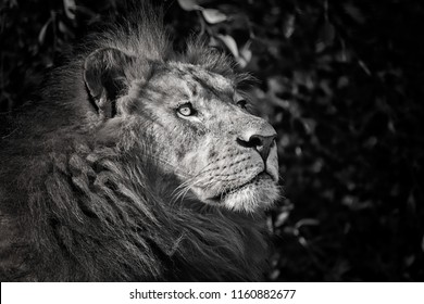 Strong lion in black and white colours. Detail portrait lion in black and white colour. Close-up lion. Photo of the animal world.