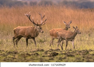 Strong male red deer buck (Cervus elaphus) in grass field with two hinds at sunset