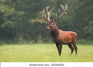Strong male red deer (cervus elaphus) stag standing calmly on meadow isolated on green blurred background. Buck with big massive antlers trophy. Wild animal in natural environment. Dominant male.