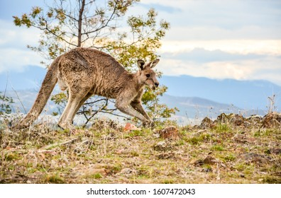 A strong muscle male Australian Kangaroo running with evening mountain background