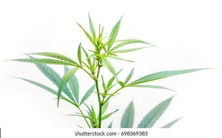 Strong natural cannabis plant with many leaves in sunshine with shadows. Marijuana as home plant. The cannabis plant, marijuana plant, isolated on white background. How to grow cannabis at home