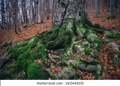 Strong root of a beech tree covered with moss in the middle of the forest