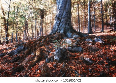 Strong roots of a strong beech