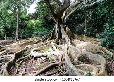 Strong roots of a massive ficus macrophylla, Sao Miguel, Azores, Portugal, Europe