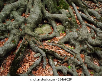 Strong roots of an old beech tree embracing the earth