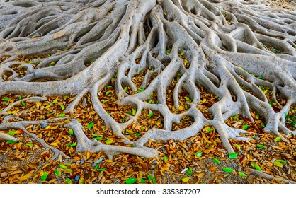 Strong roots of old tree with fresh green and dry orange leaves