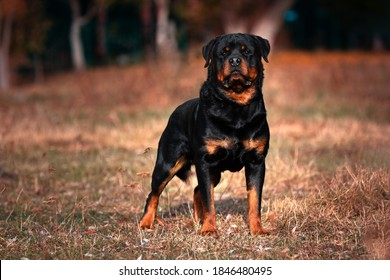Strong Rottweiler dog on nature background