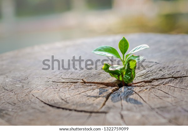 A strong seedling growing in the center trunk of cut stumps. tree ,Concept of support building a future focus on new life