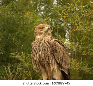 A strong steppe eagle chick is ready to leave the nest