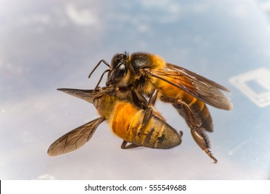 Strong Stingless Male drone Giant Honey Bee, (Apis dorsata), with 3 ocellis on its head, on a translucent and  white surface, practising cannibalism by eating a dead Giant Honey Bee