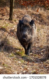 Strong wild boar, sus scrofa, walking on a path in spring nature at sunrise. Rough mammal with long brown fur approaching closer in vertical composition from front view. Wild animal in nature.