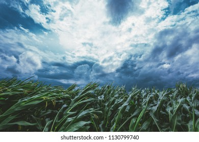 Strong wind blowing in the corn field and bending crop plants