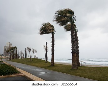 Strong wind blows from the sea and bends palm trees on the seashore, Haifa