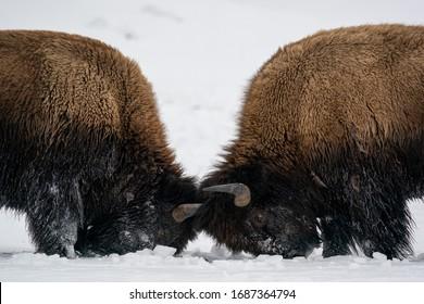 Starke Holzbisons, Bison Bonasus, Kämpfe auf Schnee und Schlagen gegeneinander mit Hörnern in Nahaufnahme. Wilde Säugetiere mit langbraunem Fell und massiven Körpern, die kämpfen.