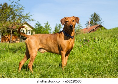 A strong, young, purebred red German Pinscher dog standing proudly in the meadow in front of a farm in rural southern Germany.