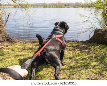 strong young staffordshire bull terrier dog pulling on a red harness and leash to try and get into the water at a lakeside.