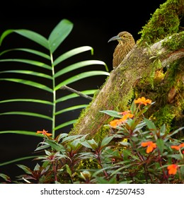 Strong-billed Woodcreeper, Xiphocolaptes promeropirhynchus, largest woodcreeper in  tropical moist montane forest, staring from behind mossy trunk against dark background. Ecuador, Bellavista, Andes.