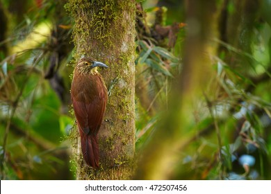 Strong-billed Woodcreeper, Xiphocolaptes promeropirhynchus, largest woodcreeper in  tropical moist montane forest, climbing on mossy trunk. Ecuador, Bellavista, Andes.