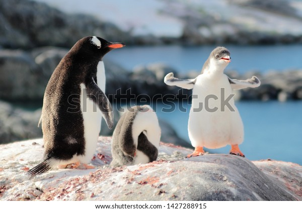 Strongest Gentoo Penguin Cute Funny Baby Chick Mummy Mom Penguins Colony Wildlife King Birds Polar Animals Cold Wild Life Creatures Antarctica Antarctic Peninsula Deception Island Half Moon Georgia