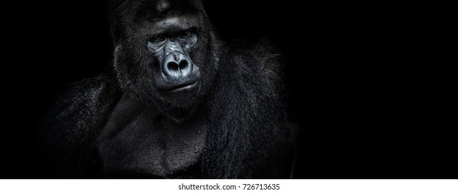 strongman. Portrait of a male gorilla on a black background, severe silverback, Grave look of the great ape, the most dangerous and biggest monkey of the world. The chief of a gorilla family. APE
