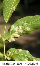 struck foliage walnut mites, from which the walnut begins to deteriorate, closeup, summer