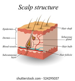 The structure of the hair scalp, anatomical training poster, illustration
