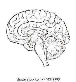 Structure of the human brain hemispheres.