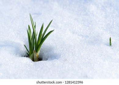 Struggle of life, crocus in snow. Webster County, West Virginia, USA