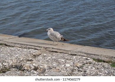 A strutting seagull beside the water in St. Augustine, Florida, USA.